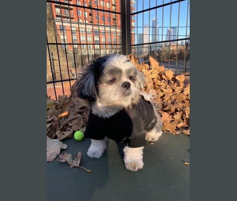 Photo of Brady, a Shih Tzu  in Hoboken, New Jersey, USA