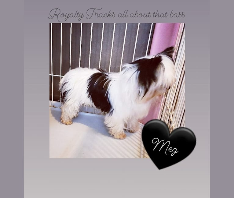 Photo of MEG, a Yorkshire Terrier  in Payson, UT, USA