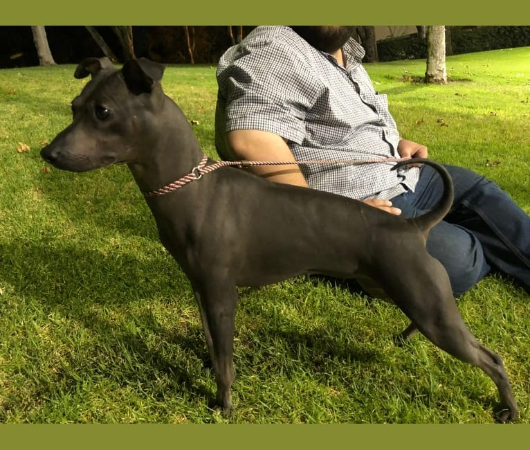 Photo of Moose, an American Hairless Terrier  in La Habra, California, USA