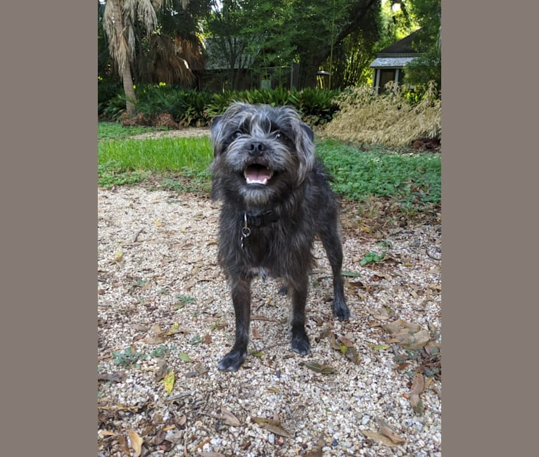 Photo of Squid, a Pug, Poodle (Small), and Mixed mix in Austin, Texas, USA