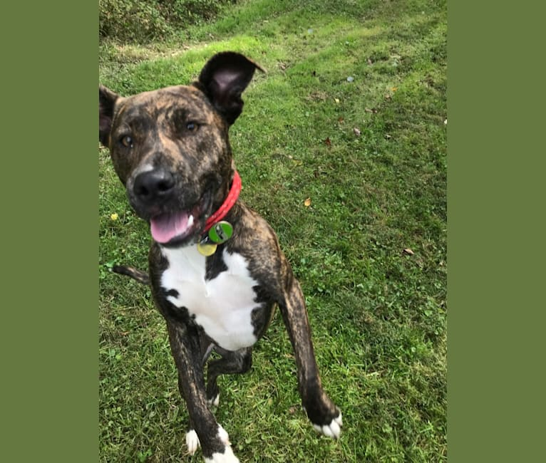 Photo of Keira, an American Pit Bull Terrier, American Staffordshire Terrier, and Mixed mix in Tennessee, USA