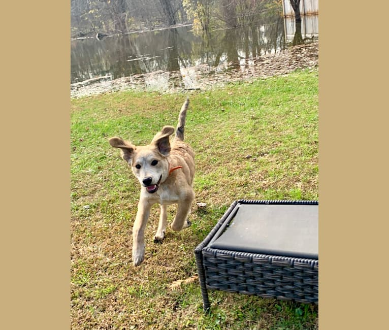 Photo of Jameson, a Labrador Retriever, Chow Chow, Australian Cattle Dog, Boxer, Bulldog, American Pit Bull Terrier, and Mixed mix in Florida, USA