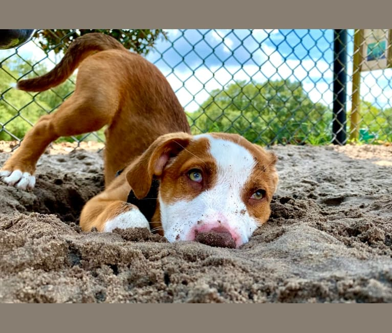 Photo of Ziggy, an American Pit Bull Terrier, Rottweiler, Great Pyrenees, and American Staffordshire Terrier mix in Gainesville, Florida, USA