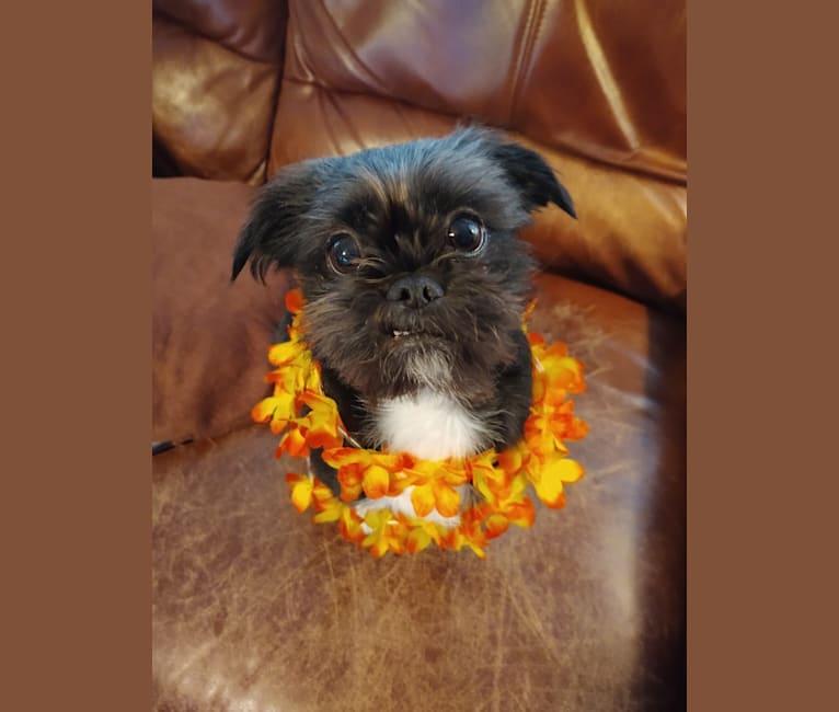 Photo of Polka Dot, a Shih Tzu, Chihuahua, Poodle (Small), Pomeranian, Pekingese, and Mixed mix in Omak, Washington, USA