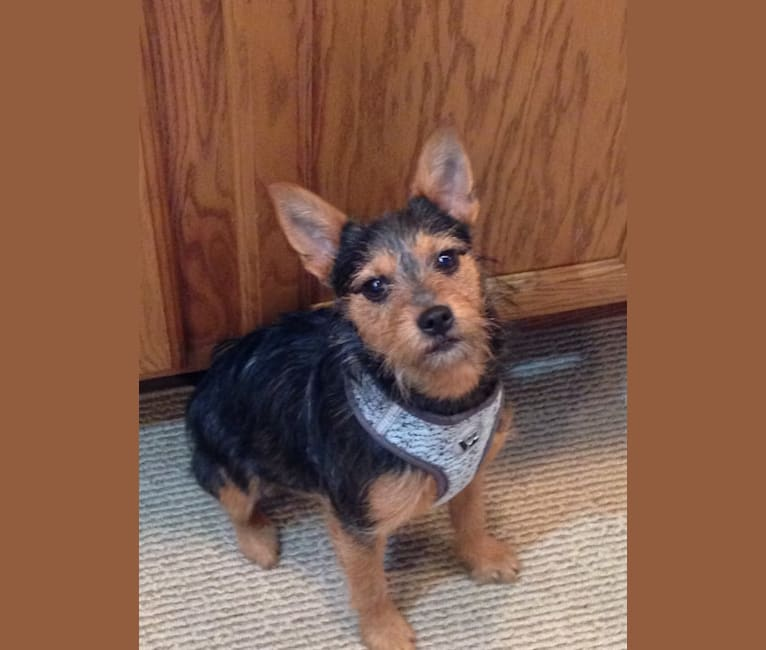Photo of Ivy, a Miniature Schnauzer, Miniature/MAS-type Australian Shepherd, Yorkshire Terrier, and American Pit Bull Terrier mix in Oklahoma, USA