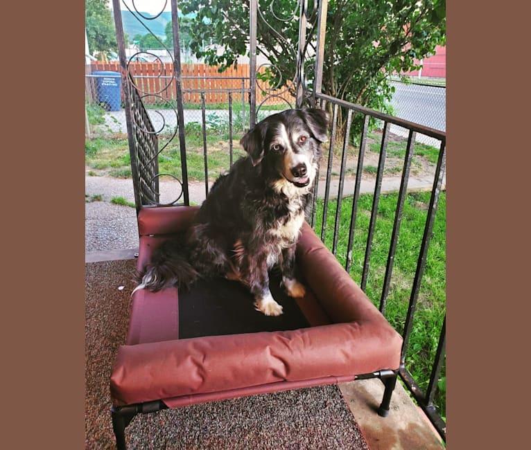 Photo of Indigo, a Siberian Husky, Labrador Retriever, Great Pyrenees, German Shepherd Dog, and Rottweiler mix in Williamsport, Pennsylvania, USA
