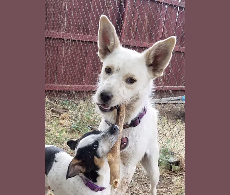 Photo of Snowball, an American Pit Bull Terrier, Australian Cattle Dog, Rottweiler, Collie, and Mixed mix in Flagstaff, Arizona, USA