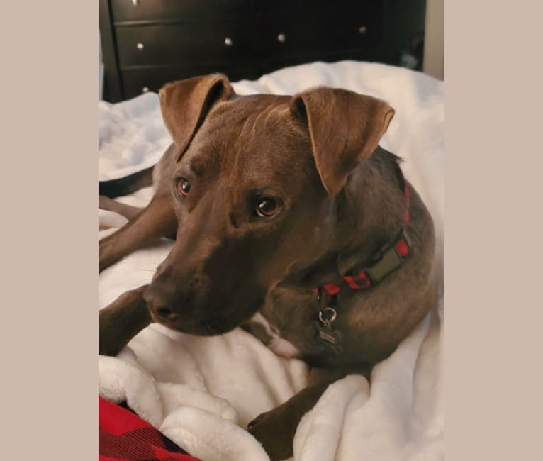 Photo of Rowdy, an American Pit Bull Terrier, American Staffordshire Terrier, and Golden Retriever mix in Fayetteville, North Carolina, USA