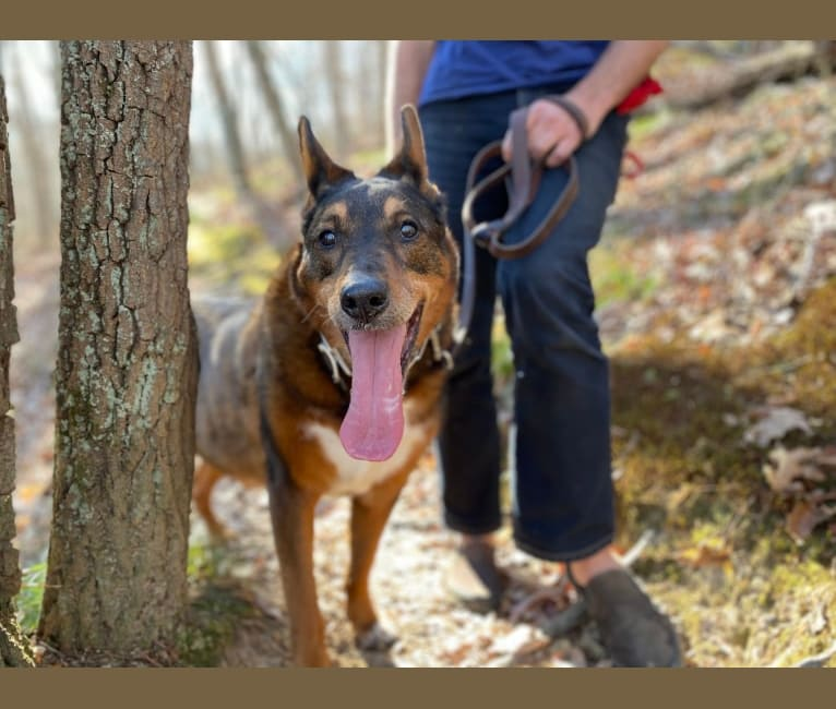 Photo of Duke, a Rottweiler and German Shepherd Dog mix in Chicago, Illinois, USA