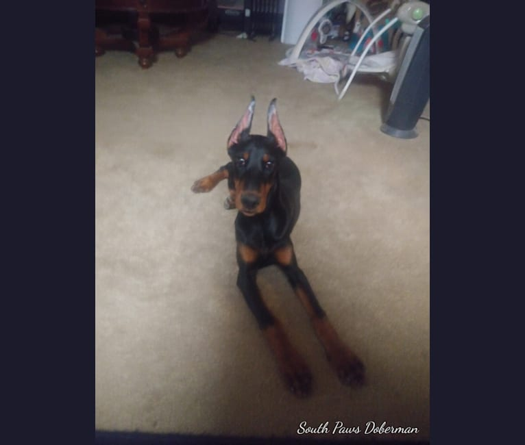 Photo of Willow, a Doberman Pinscher  in null