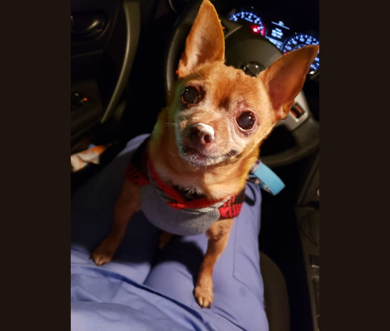 Photo of VICIOUS!, a Chihuahua  in Portland, Oregon, USA