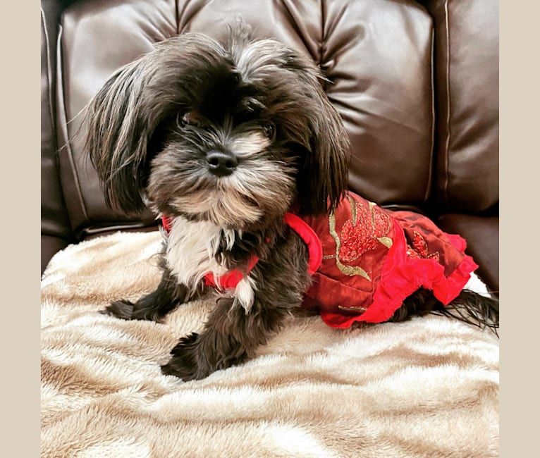 Photo of Penelope, a Yorkshire Terrier and Shih Tzu mix in Fort Collins, CO, USA