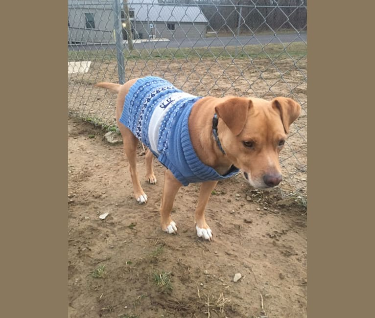 Photo of Flapjack, an American Pit Bull Terrier and Mixed mix in Crossville, Tennessee, USA