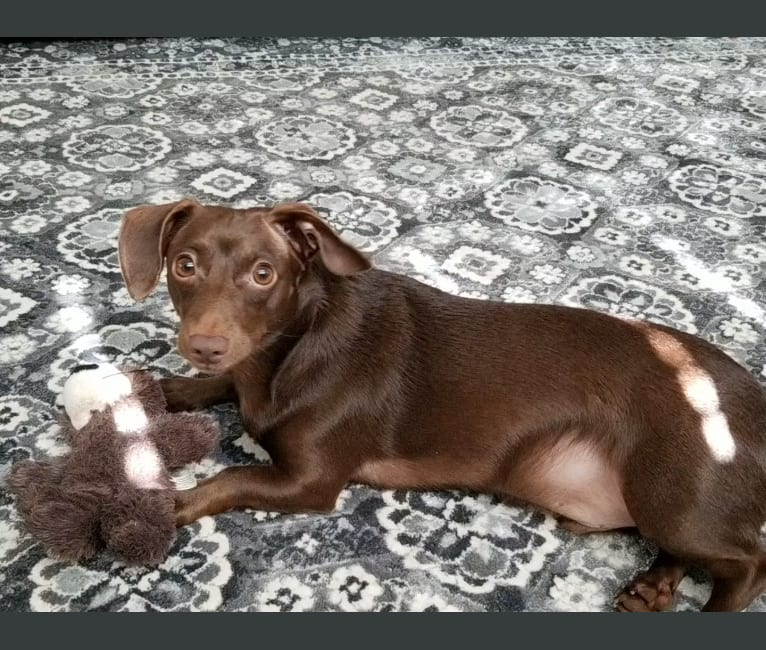 Photo of Roscoe, a Dachshund, Chihuahua, Poodle (Small), and Mixed mix in Albany, Georgia, USA
