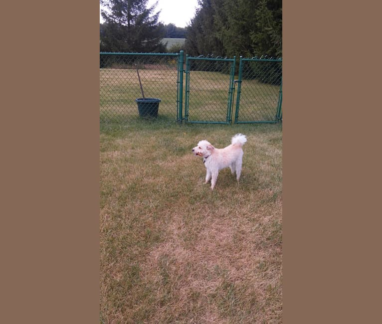 Photo of Charlie, a Poodle (Small), Russell-type Terrier, American Eskimo Dog, and Mixed mix in Illinois, USA