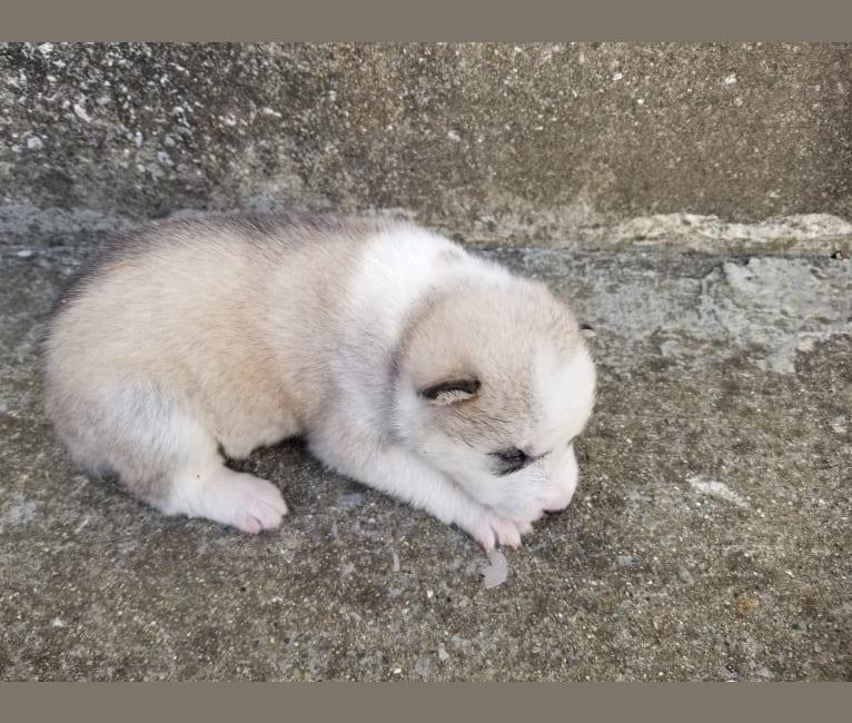 Photo of Everest, a Siberian Husky and German Shepherd Dog mix in Winchester, Kentucky, USA