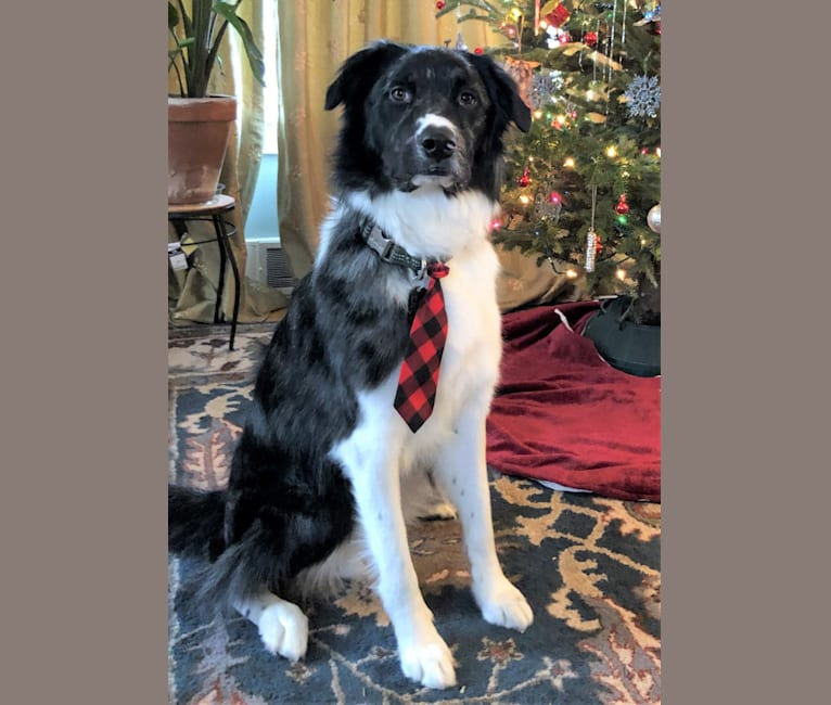 Photo of Murphy, a Border Collie, Chow Chow, American Pit Bull Terrier, Golden Retriever, and Mixed mix in Rochester, Minnesota, USA