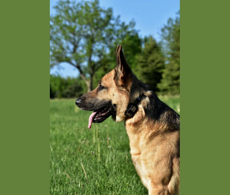 Photo of Bueller, a German Shepherd Dog  in Hastings, IA, USA