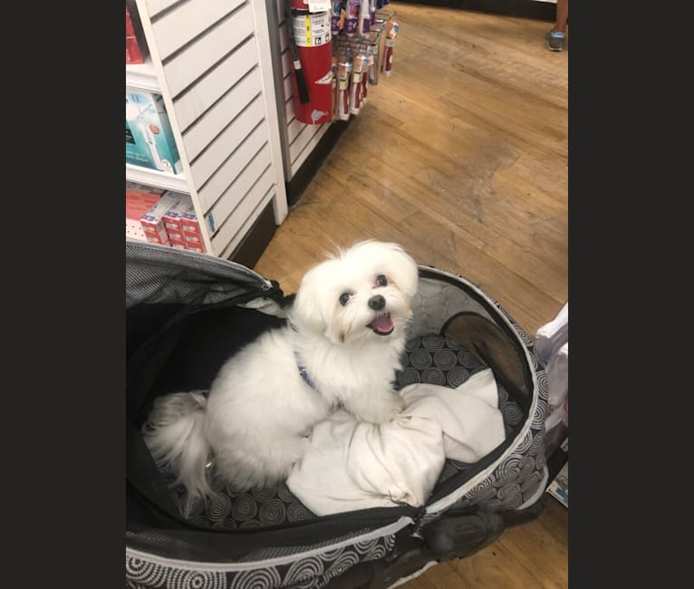 Photo of Henry, a Maltese  in Babylon, NY, USA