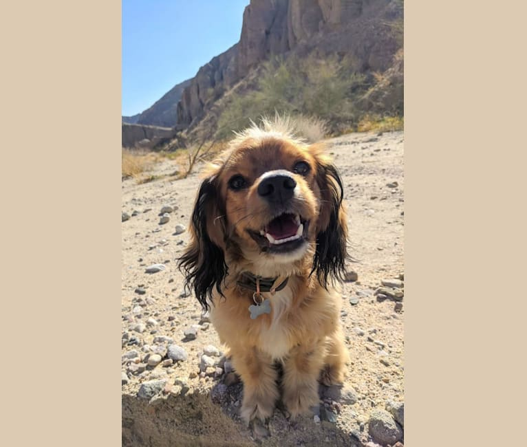 Photo of Louie Lumière Scott, a Cocker Spaniel and Pomeranian mix in Bakersfield, CA, USA