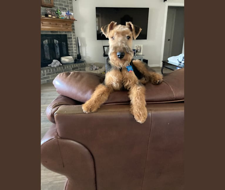 Photo of Dylan Beaux, a Welsh Terrier  in Ragley, LA, USA