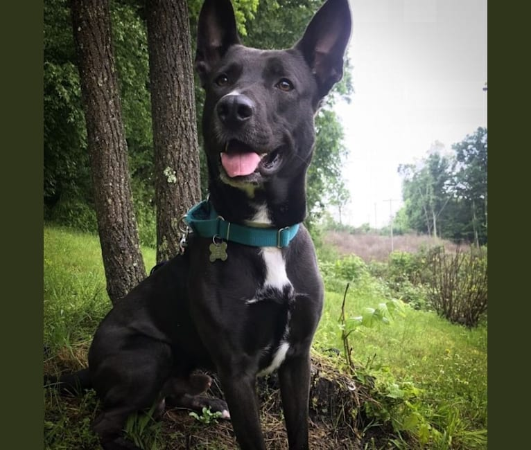 Photo of Adrian, a German Shepherd Dog, American Pit Bull Terrier, and American Staffordshire Terrier mix in Sugarloaf, Pennsylvania, USA