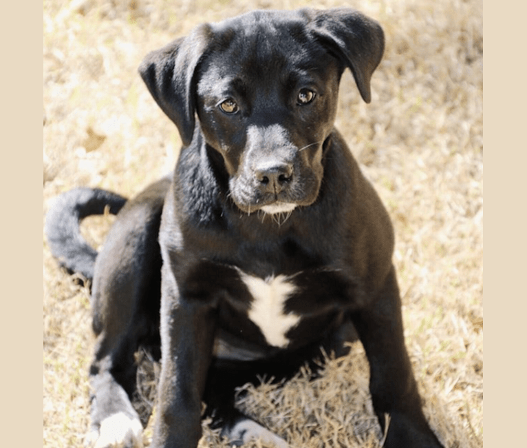 Photo of Lucy, a Labrador Retriever, Mountain Cur, American Pit Bull Terrier, and Australian Cattle Dog mix in Louisiana, USA