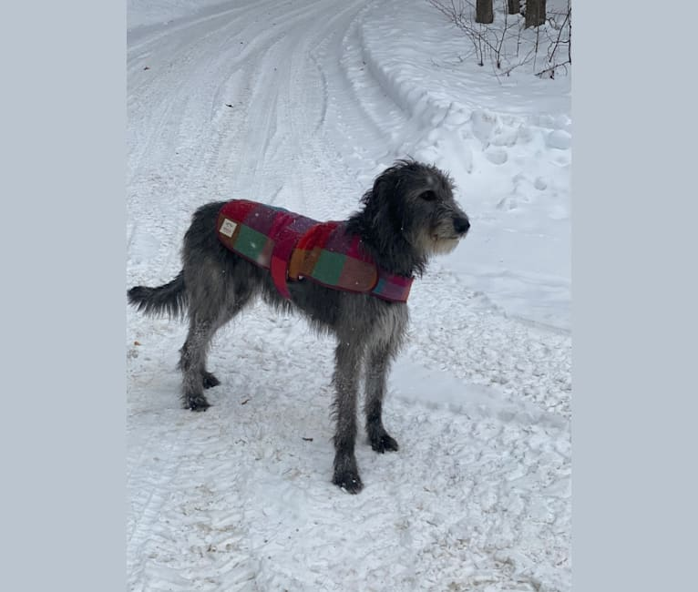 Photo of Ava, an Irish Wolfhound
