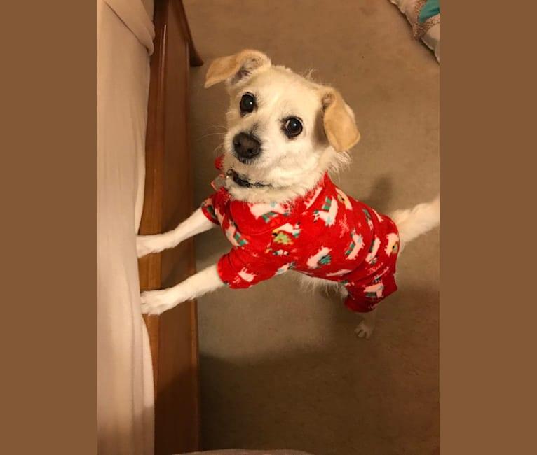 Photo of Zoey, a Poodle (Small), Chihuahua, and Miniature Schnauzer mix in Scottsdale, Arizona, USA