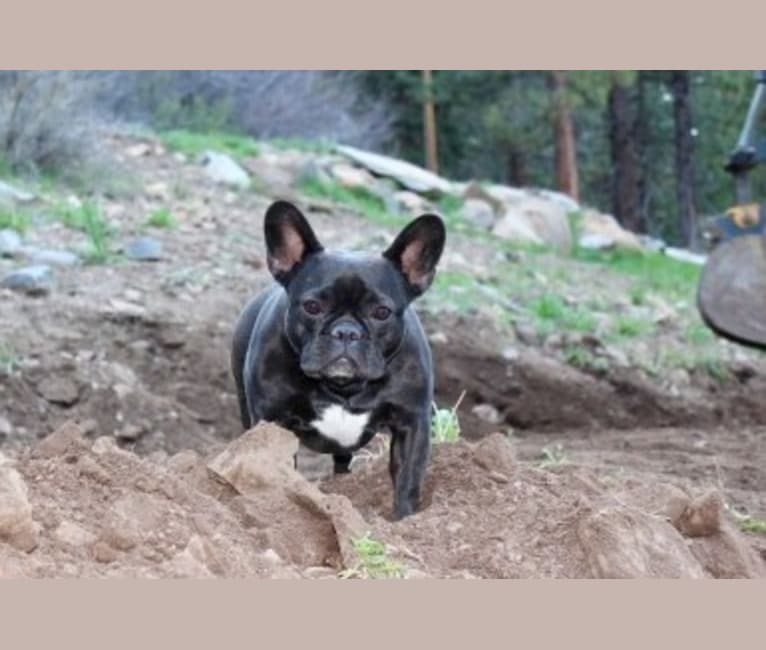 Photo of Gretta, a French Bulldog  in Truckee, California, USA