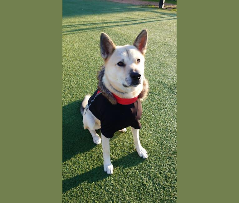 Photo of Hwarang, a Japanese and Korean Village Dog  in South Korea