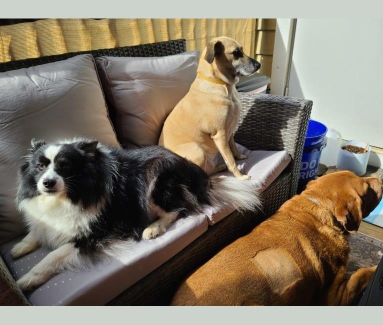 Photo of Rocko, an American Eskimo Dog, Shetland Sheepdog, and Mixed mix in Libertytown, Maryland, USA