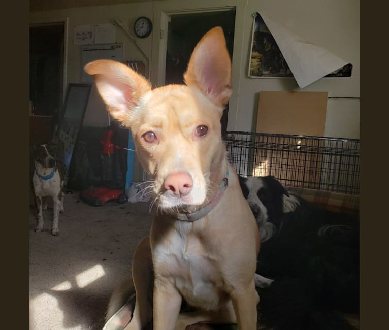 Photo of Eva, an American Pit Bull Terrier, Siberian Husky, American Staffordshire Terrier, and Mixed mix in Sacramento, California, USA