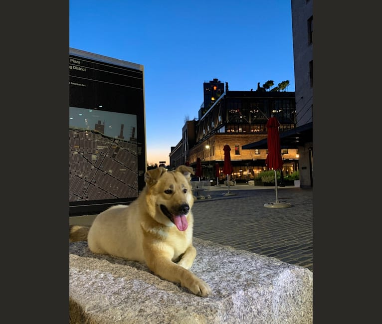 Photo of Honey Girl Girl, a Chinese Village Dog and Newfoundland mix in Shijiazhuang, Hebei, China