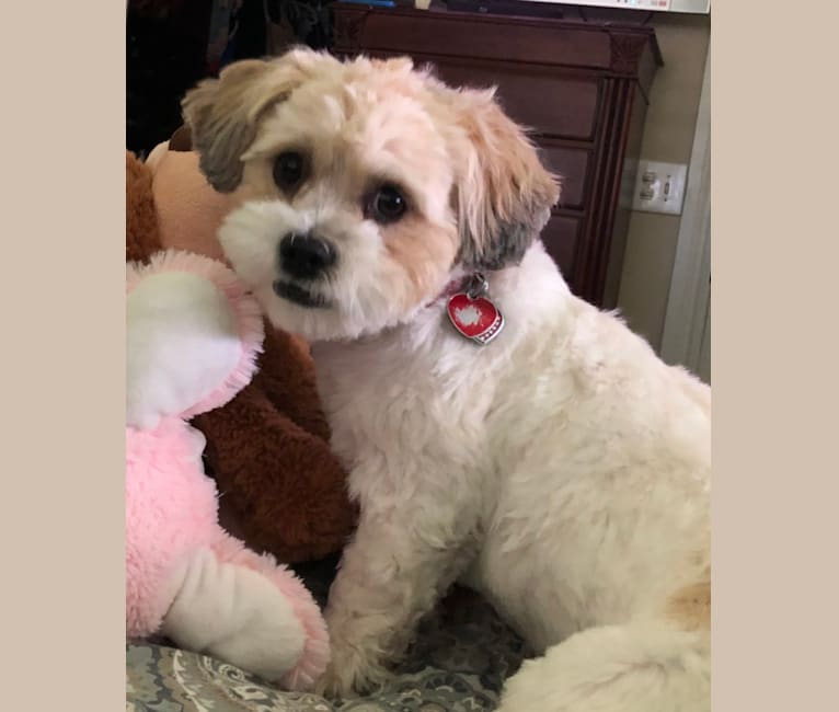 Photo of Livvy, a Shih Tzu, Chihuahua, and Lhasa Apso mix in Florida, USA
