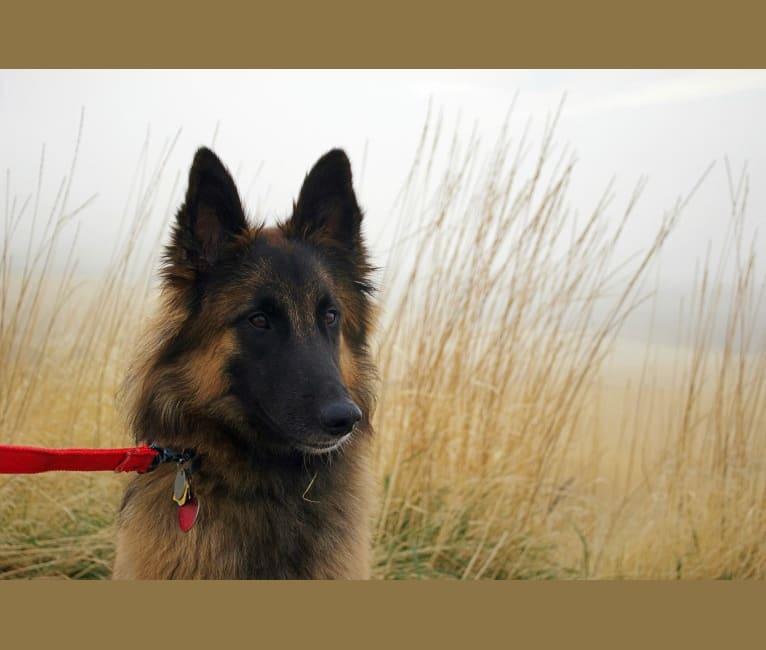 Photo of Gracie, a Belgian Shepherd
