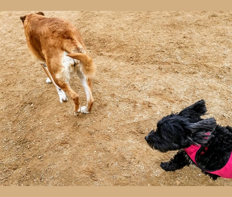 Photo of Trooper, a Maltese, Chihuahua, Pomeranian, and Poodle (Small) mix in La Crescenta-Montrose, California, USA