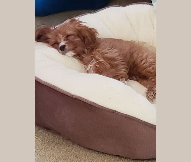 Photo of Lexie, a Cavapoo  in Salem, IA, USA