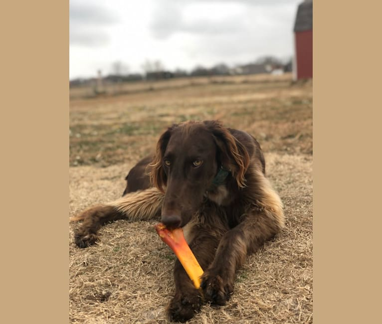 Photo of Rigel, a Saluki, Poodle (Standard), Greyhound, and Afghan Hound mix in Royse City, Texas, USA