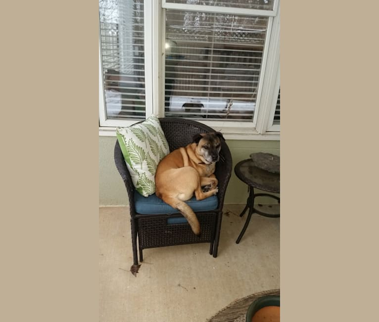 Photo of Theo, a Bulldog, Chow Chow, American Pit Bull Terrier, German Shepherd Dog, and Mixed mix in Charlotte, North Carolina, USA