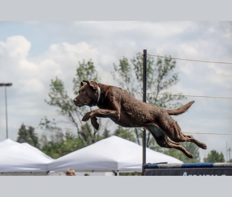 Photo of TILDEN'S THEIA, a Labrador Retriever, German Shorthaired Pointer, and Pointer mix in Puposky, Minnesota, USA