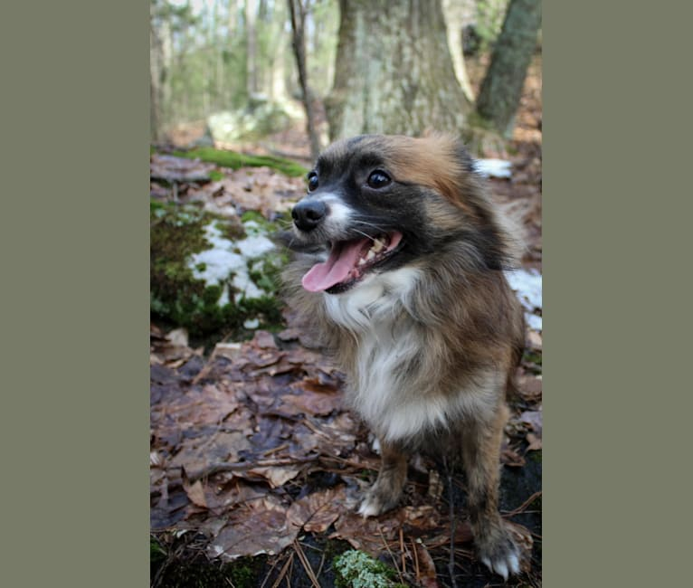 Photo of Milo, a Chihuahua, Pomeranian, and Mixed mix in Westerly, Rhode Island, USA