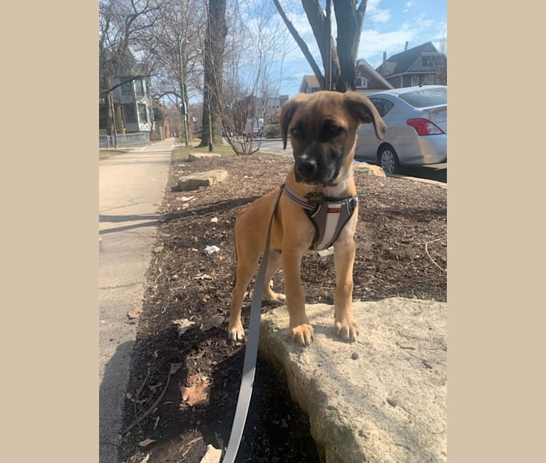 Photo of Hercules, a Labrador Retriever, American Pit Bull Terrier, German Shepherd Dog, and Mixed mix in Chicago, Illinois, USA