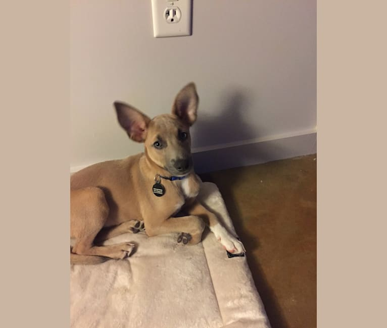 Photo of Booker, a Rat Terrier, American Pit Bull Terrier, German Shepherd Dog, and Mixed mix in Millington, Tennessee, USA