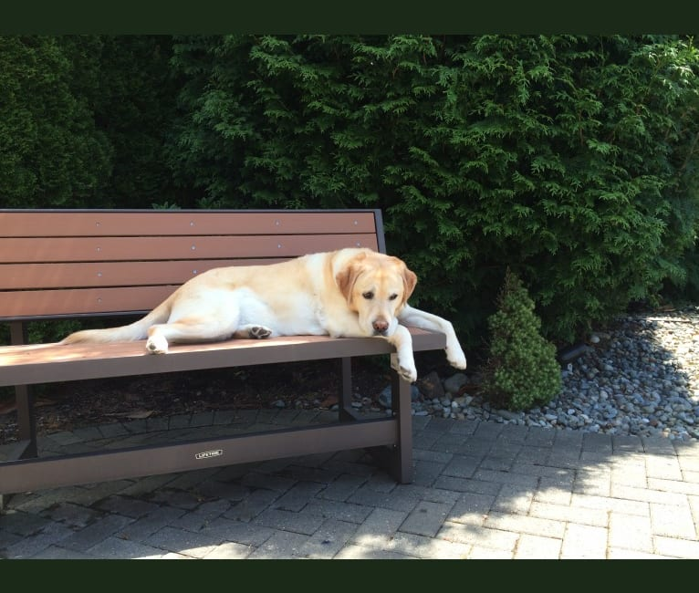 Photo of Amber Dee, a Labrador Retriever  in Wilsonville, Oregon, USA