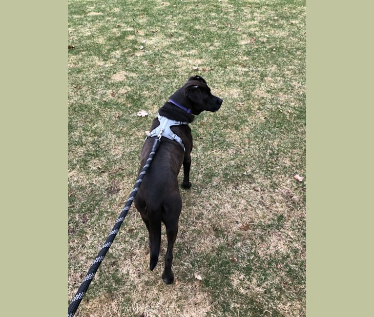 Photo of Maggie (f. Magda), a Cane Corso, Rottweiler, and German Shepherd Dog mix in Chicago, Illinois, USA