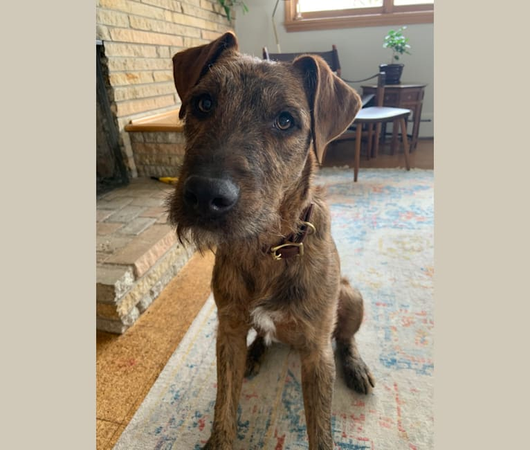 Photo of Brooks, an Airedale Terrier, American Pit Bull Terrier, and American Staffordshire Terrier mix in Texas, USA