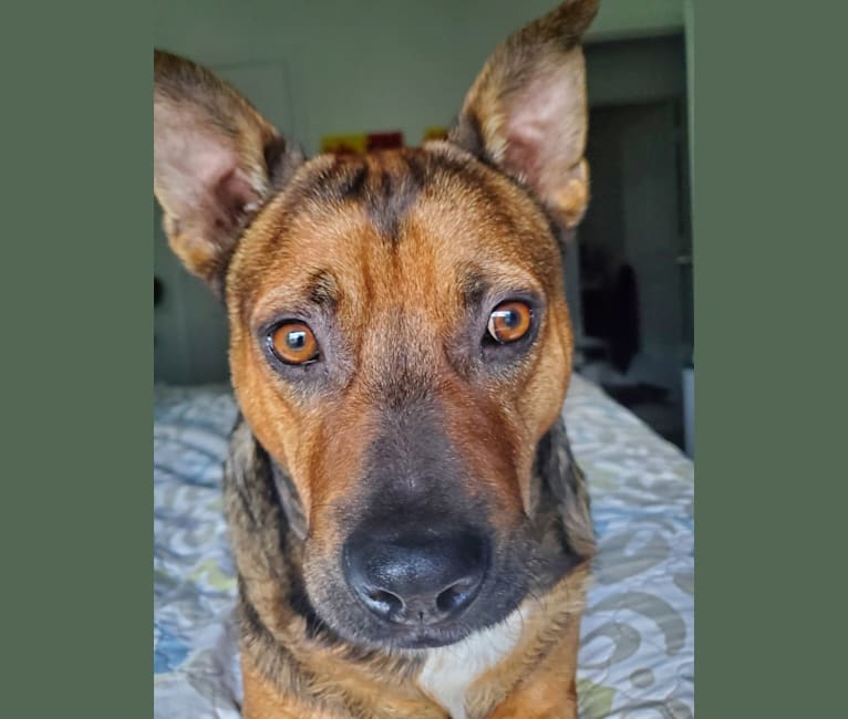 Photo of Rocky, an Australian Cattle Dog, American Pit Bull Terrier, and Chihuahua mix in Arlington, Texas, USA