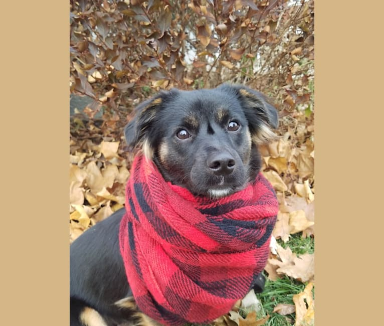 Photo of Devi, a Russell-type Terrier, American Pit Bull Terrier, Shih Tzu, and Mixed mix in Kentucky, USA