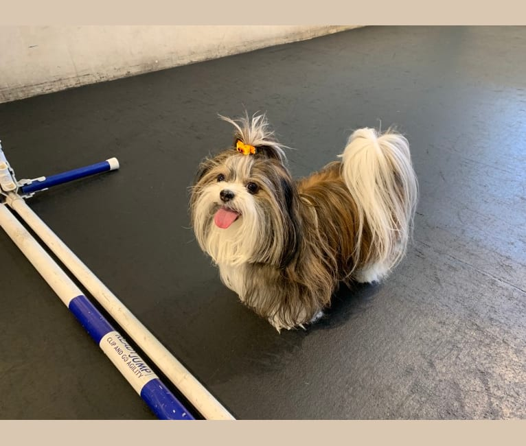Photo of SadieMiki, a Maltese, Shih Tzu, Pekingese, and Pomeranian mix in Central Valley, California, USA
